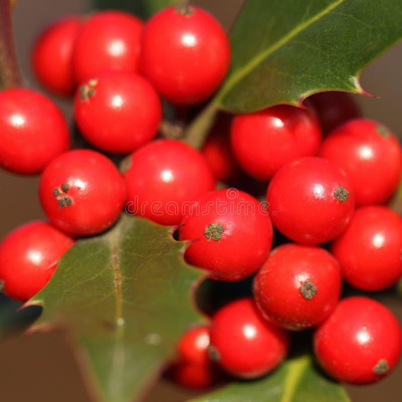 Aquifolium d'Ilex image stock