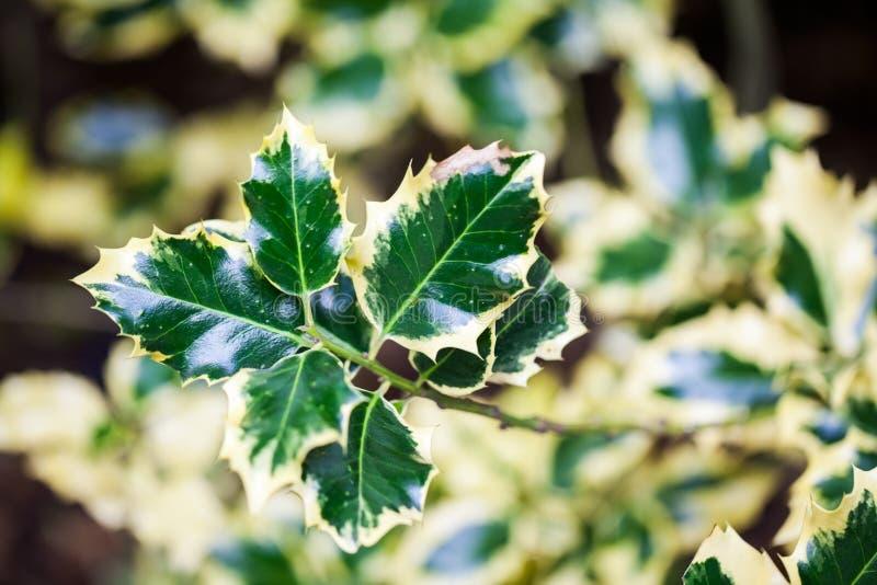 Aquifolium d'Ilex et x28 ; Holly& d'or x29 de reine ; photos stock