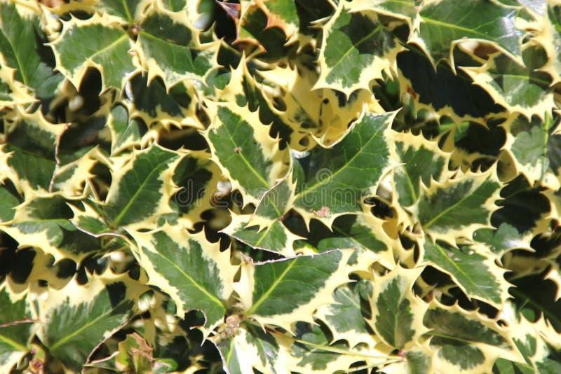 Aquifolium d'Ilex et x27 ; Variegata& x27 ; , Saint anglais varié photo libre de droits