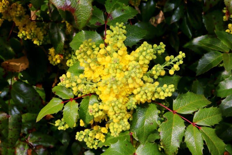 Aquifolium del Mahonia, flor amarillo en la primavera, detalle imagen de archivo