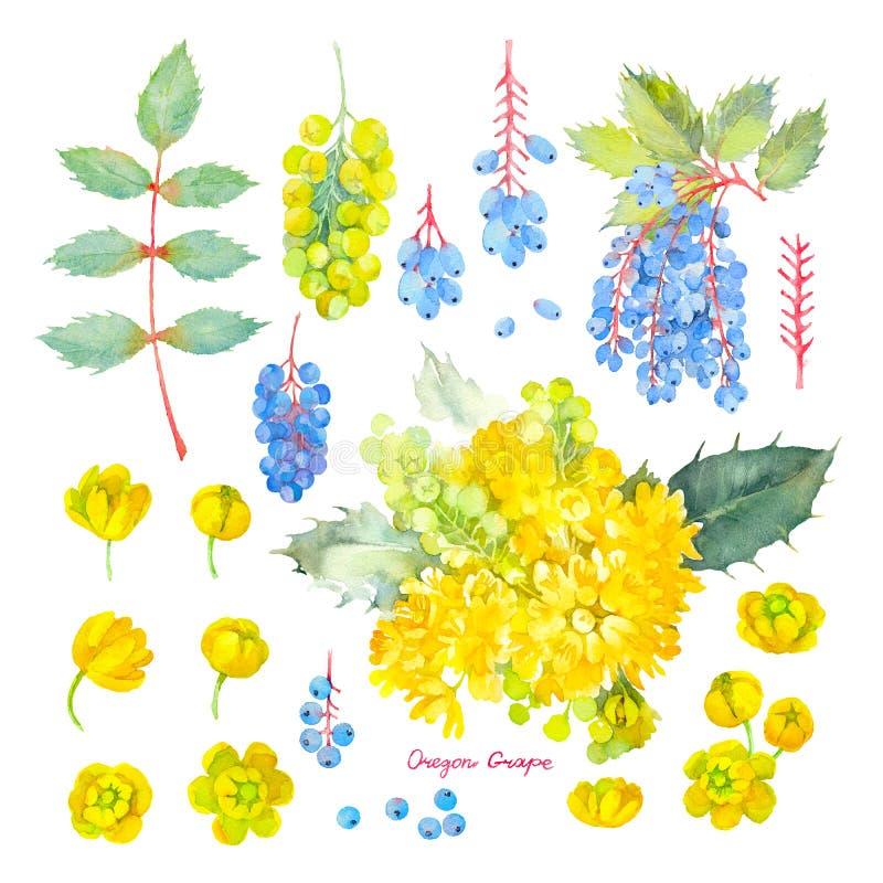 Aquifolium del Mahonia Sistema botánico de las flores amarillas y de las hojas de la uva de Oregon Ilustraci?n de la acuarela fotografía de archivo libre de regalías