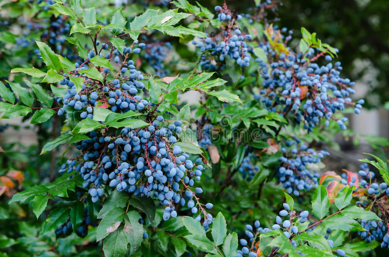 Aquifolium di Mahonia fotografia stock libera da diritti