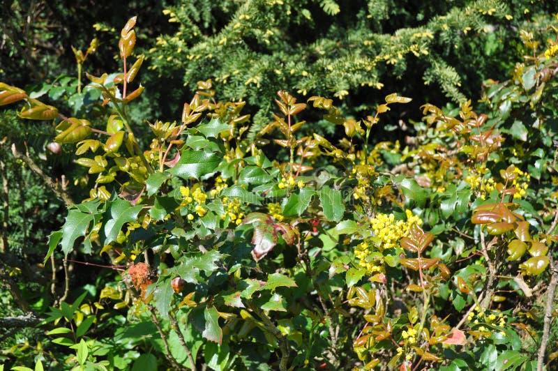 Aquifolium do Ilex, azevinho, azevinho inglês, azevinho europeu, ou ocasionalmente de azevinho do Natal flores de florescência do imagens de stock royalty free