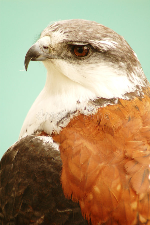 Aquila #2 immagine stock libera da diritti