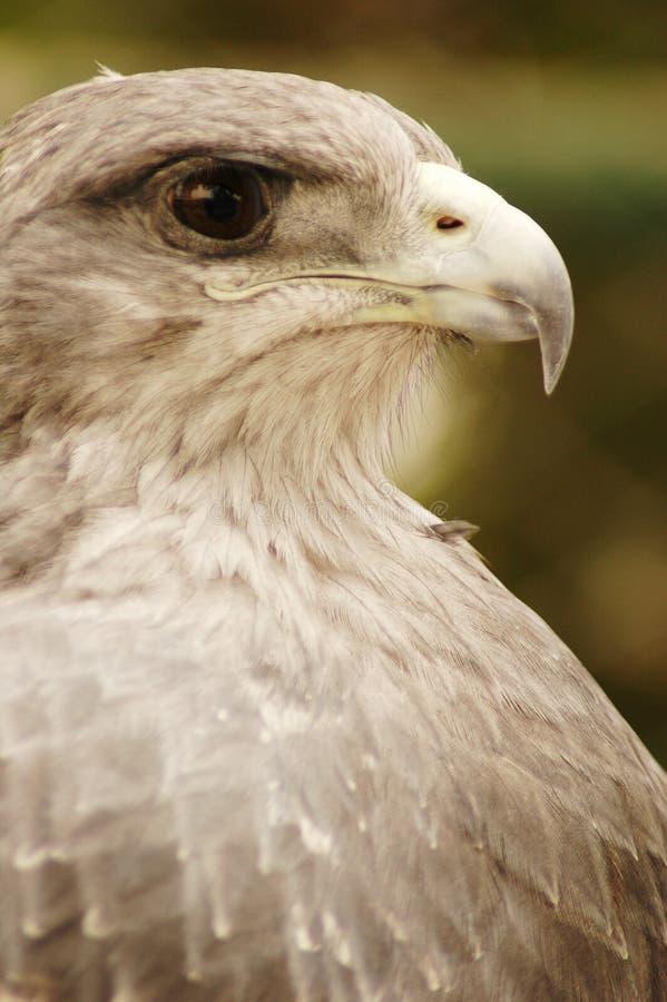 Aquila #3 immagini stock libere da diritti