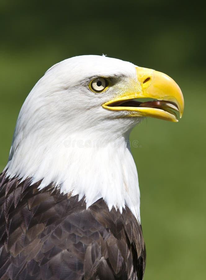 Aquila americana immagini stock libere da diritti