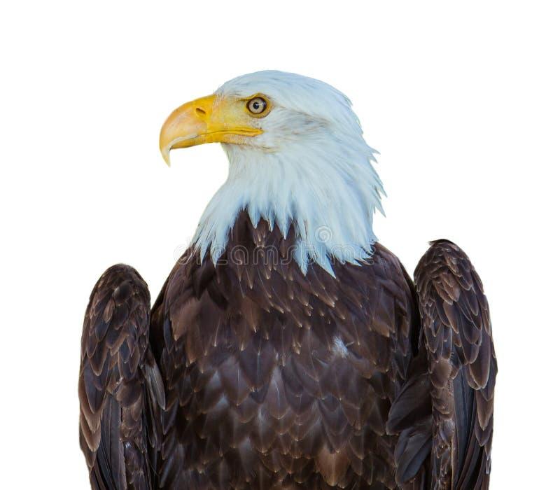 Aquila americana isolata fotografie stock libere da diritti