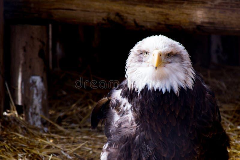 Aquila bianca e nera sul nido fotografia stock