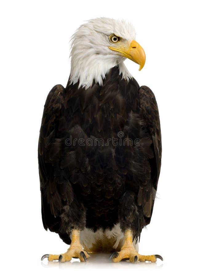Aquila calva (22 anni) - leucocephalus del Haliaeetus fotografia stock