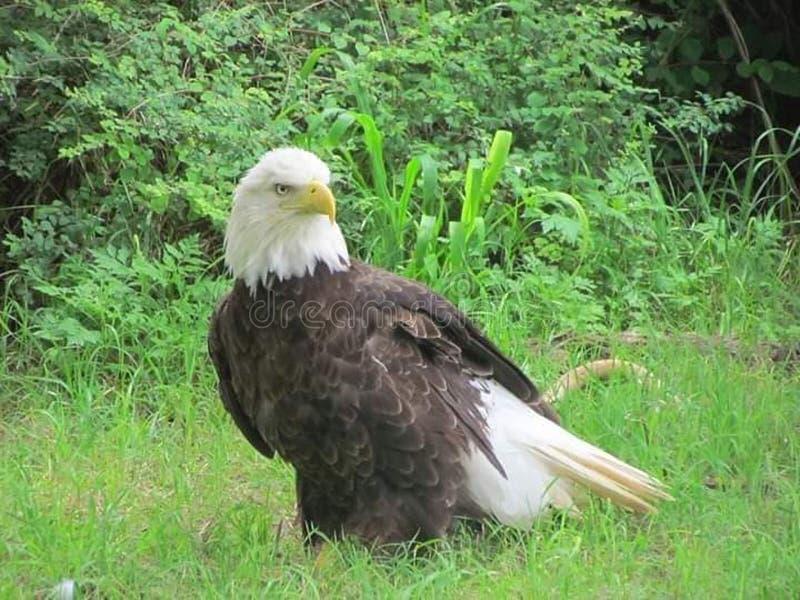 Aquila calva all'aperto immagini stock