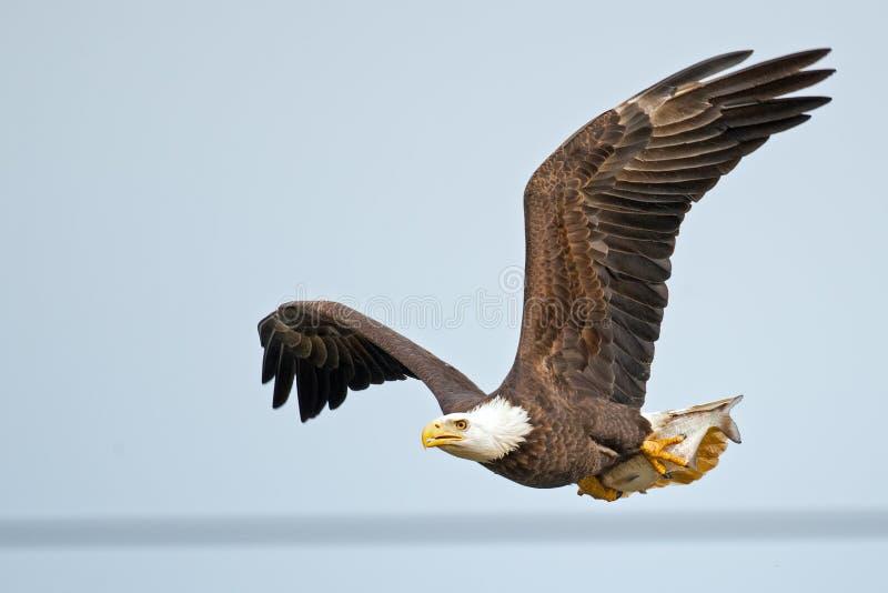 Aquila calva americana immagini stock libere da diritti