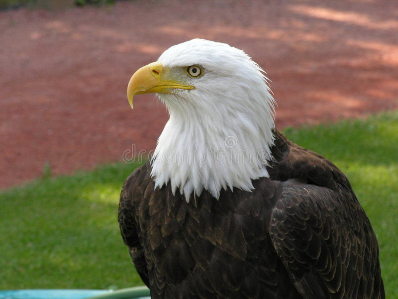 Aquila calva che osserva a sinistra fotografia stock