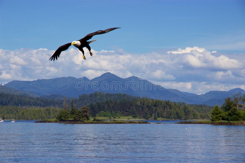 Aquila calva che sorvola oceano Pacifico vicino a principe Rupert, Canada fotografia stock