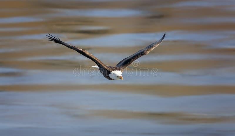 Aquila calva durante il volo fotografia stock libera da diritti