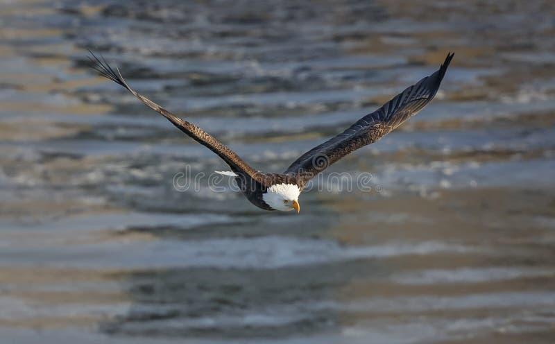 Aquila calva durante il volo fotografie stock libere da diritti