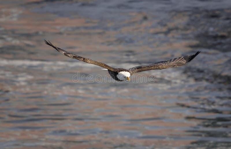 Aquila calva durante il volo fotografia stock
