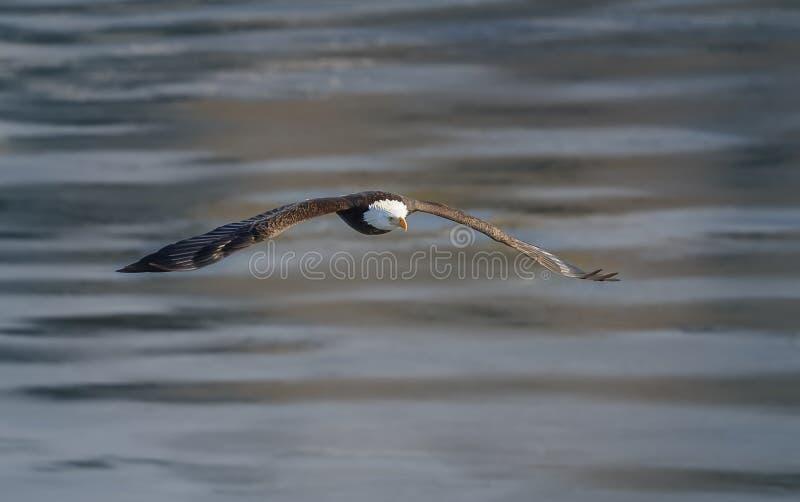 Aquila calva durante il volo immagine stock libera da diritti
