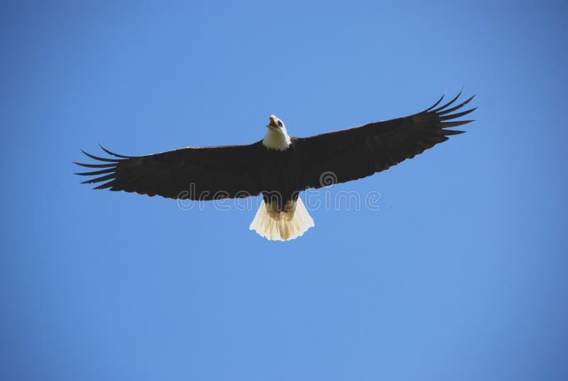 Aquila calva durante il volo immagini stock