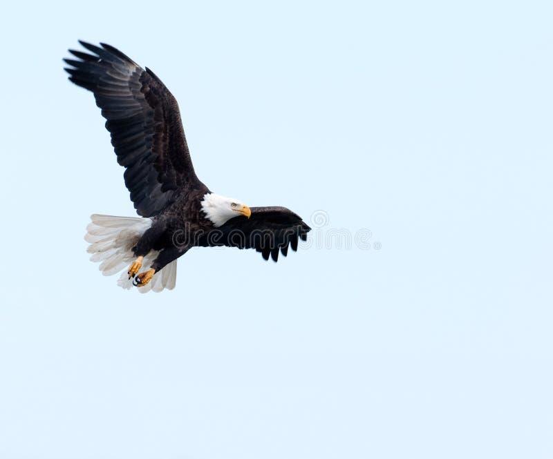 Aquila calva durante il volo