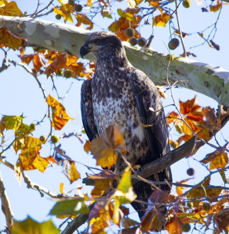 Aquila calva giovanile appollaiata in albero con il fogliame di caduta fotografia stock