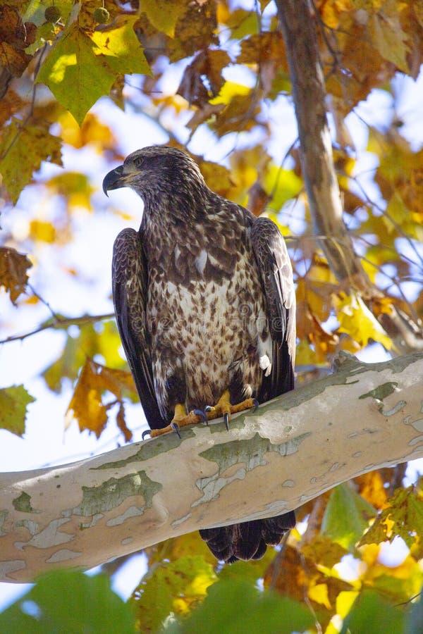 Aquila calva giovanile appollaiata in un albero circondato dal fogliame di caduta immagini stock