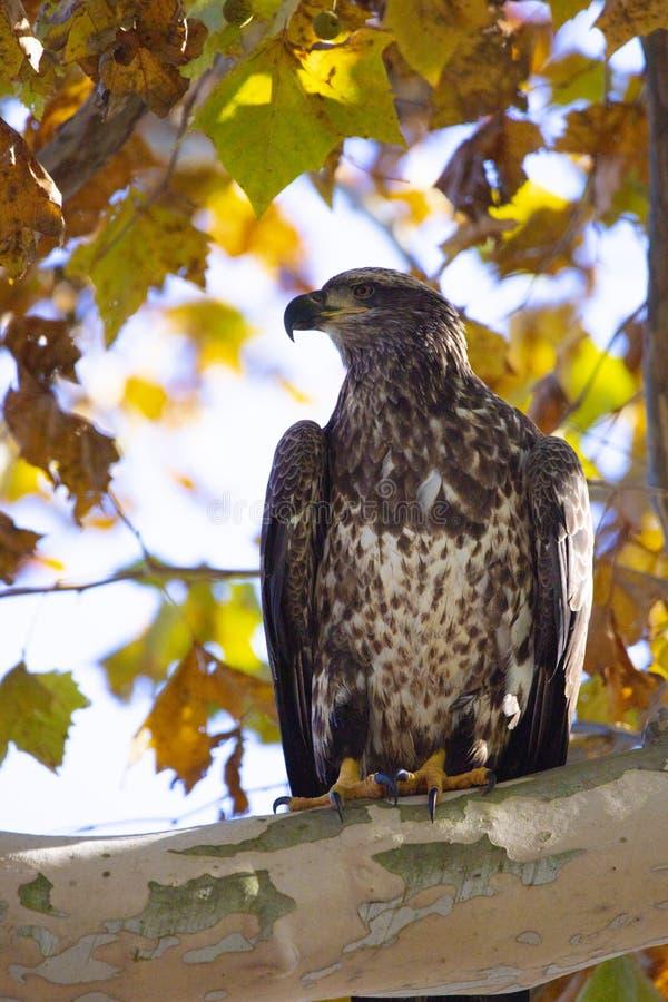Aquila calva giovanile appollaiata in un albero circondato dal fogliame di caduta fotografie stock libere da diritti
