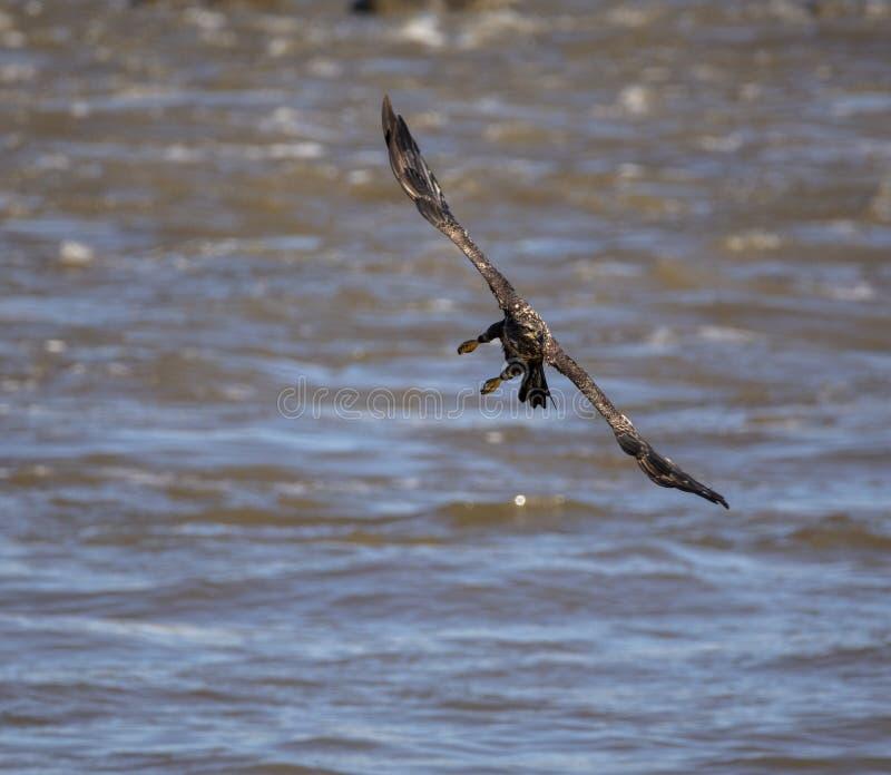 Aquila calva giovanile durante il volo fotografie stock