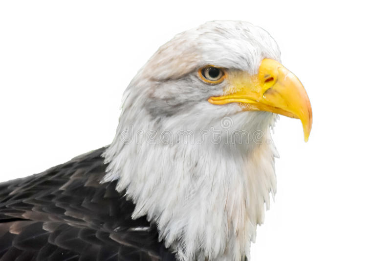 Aquila calva isolata sui precedenti bianchi fotografia stock libera da diritti