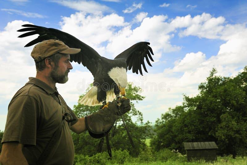 Aquila calva (leucocephalus del Haliaeetus) fotografie stock
