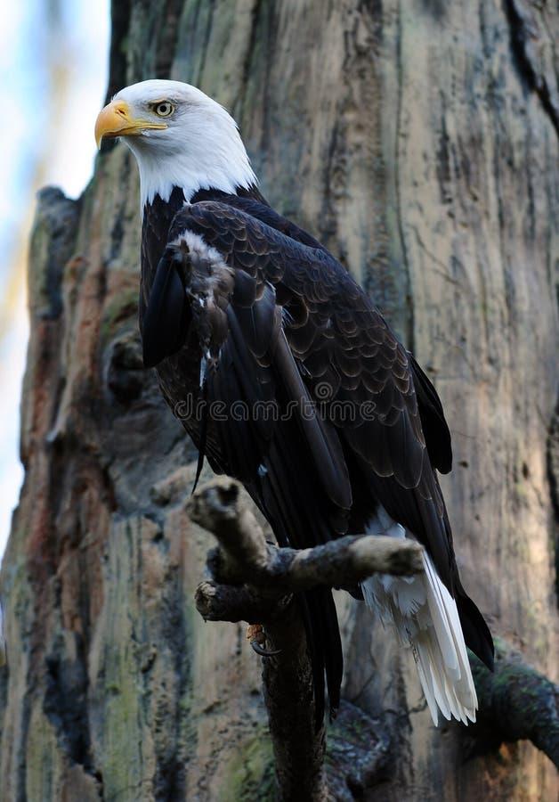 Aquila calva maestosa immagini stock