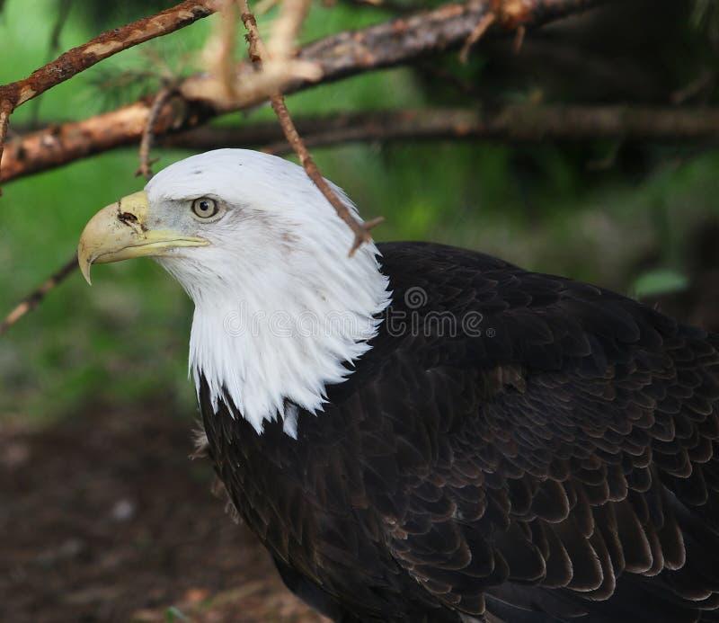Aquila calva maestosa fotografia stock libera da diritti