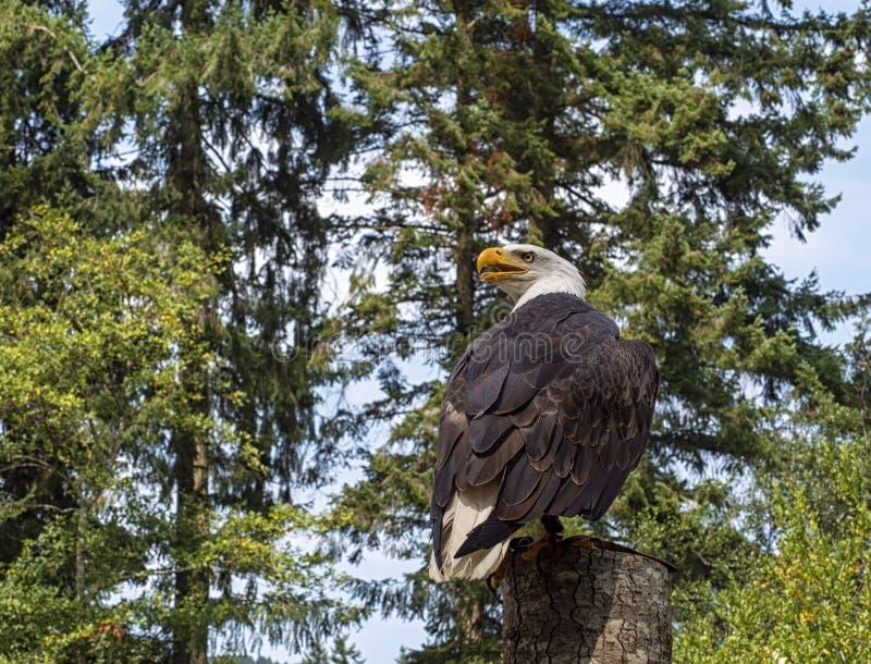 Aquila calva matura appollaiata in un albero che guarda indietro con un fondo della foresta fotografia stock libera da diritti