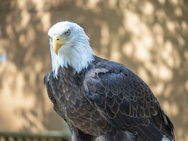 Aquila calva matura con uno sguardo fisso intenso che fissa giù la sua preda fotografia stock libera da diritti