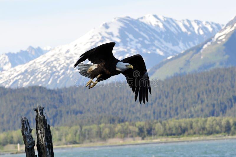 Aquila calva nell'Alaska immagine stock libera da diritti