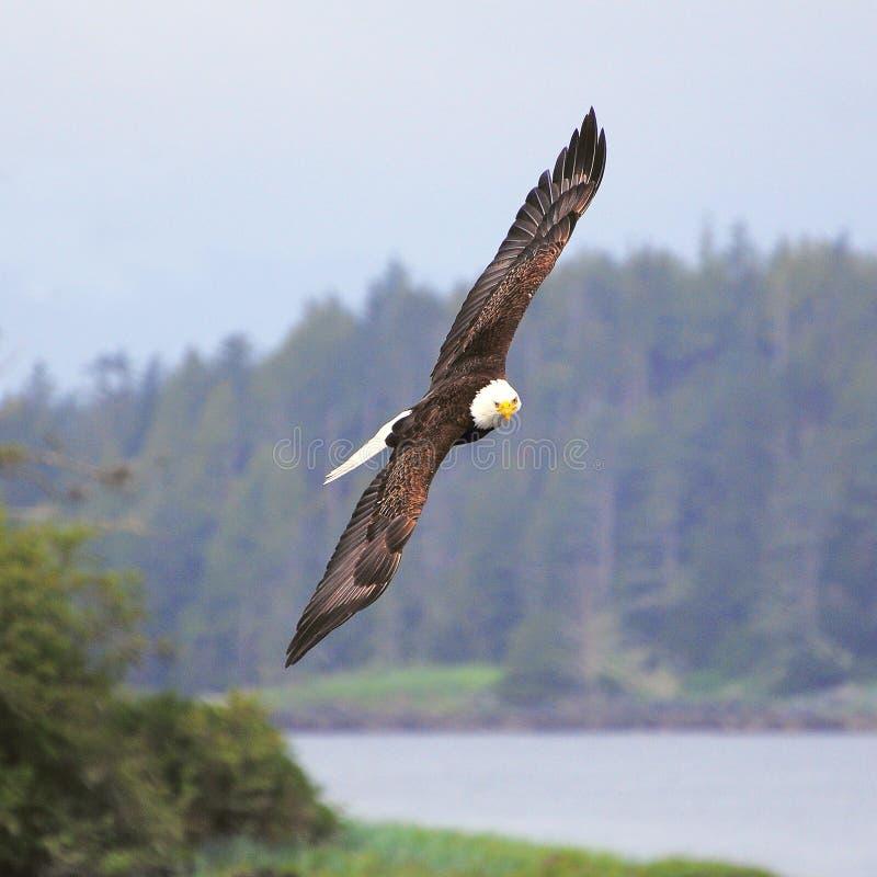 Aquila calva sopra la costa dell'oceano immagini stock