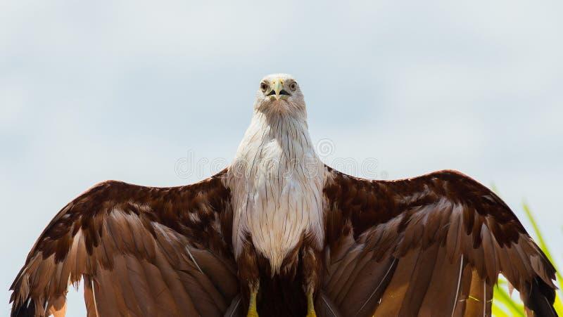 Aquila calva su fondo bianco fotografie stock libere da diritti