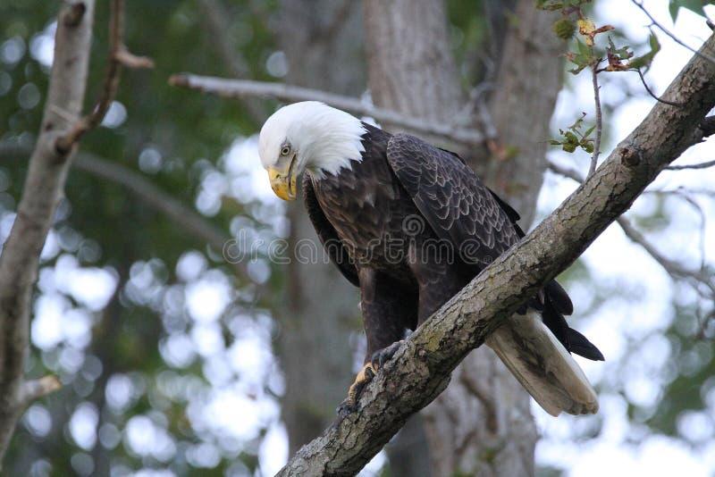 Aquila calva in un albero fotografia stock