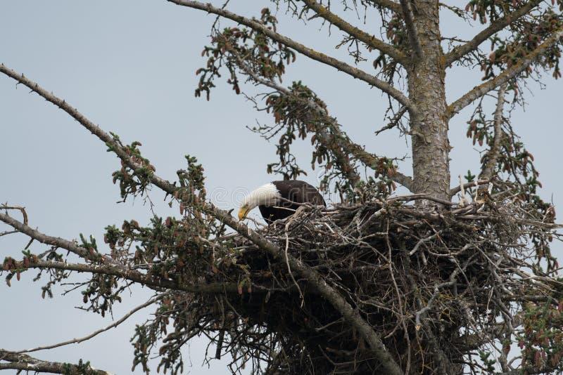 Aquila calva in un nido immagine stock libera da diritti