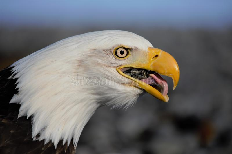 Aquila che mangia i pesci fotografia stock
