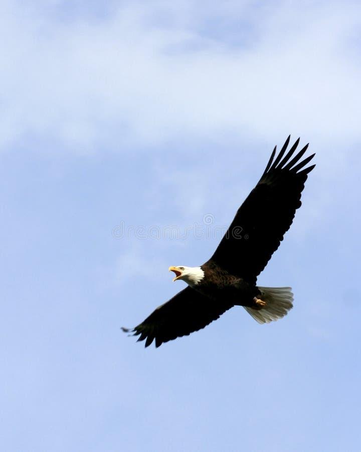 Aquila, corsa sicura fotografia stock