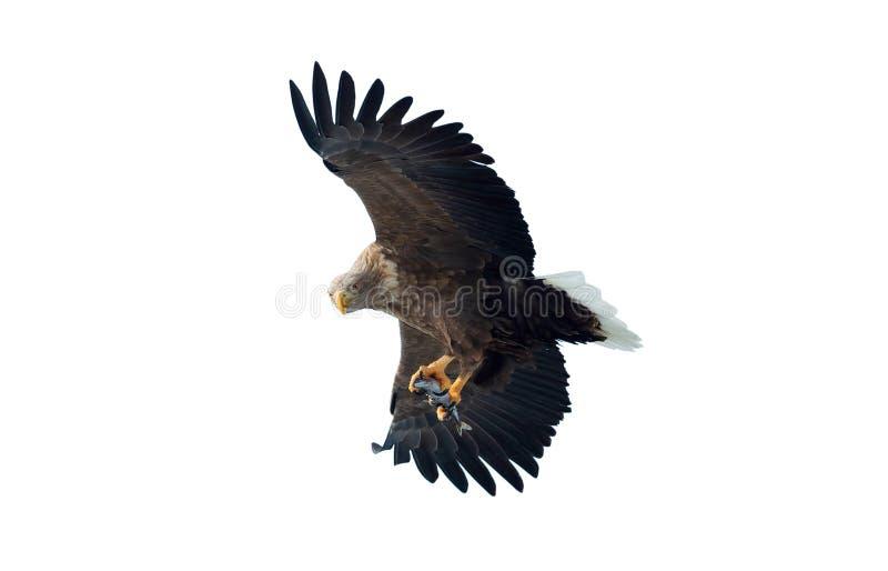 Aquila dalla coda bianca adulta con il pesce in volo Isolato su priorità bassa bianca immagini stock libere da diritti