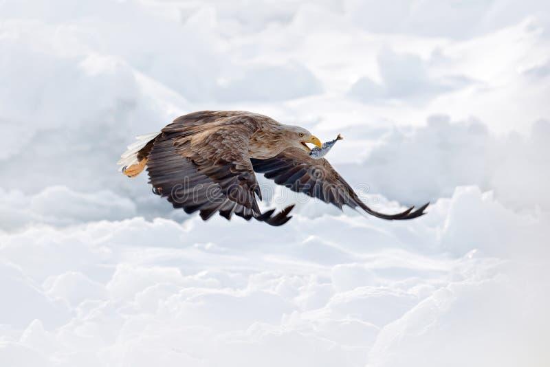 Aquila dalla coda bianca di volo, albicilla del Haliaeetus, Hokkaido, Giappone Scena della fauna selvatica di azione con ghiaccio fotografia stock libera da diritti
