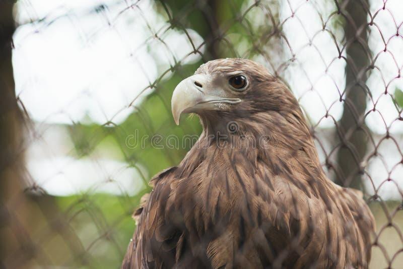 Aquila dalla coda bianca nella cattività in una gabbia fotografie stock libere da diritti