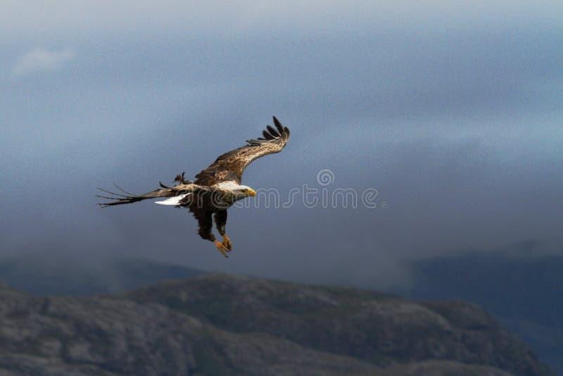 Aquila dalla coda bianca in volo prima di pescare pesce, Norvegia, albicilla del Haliaeetus, aquila di mare maestosa con i grandi immagine stock