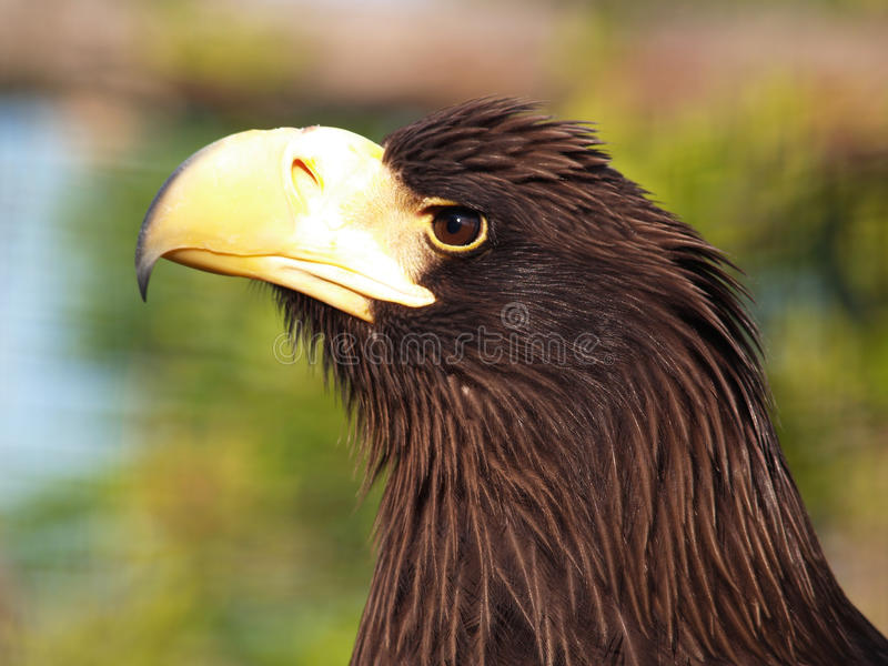 Aquila del Kamchatka immagine stock