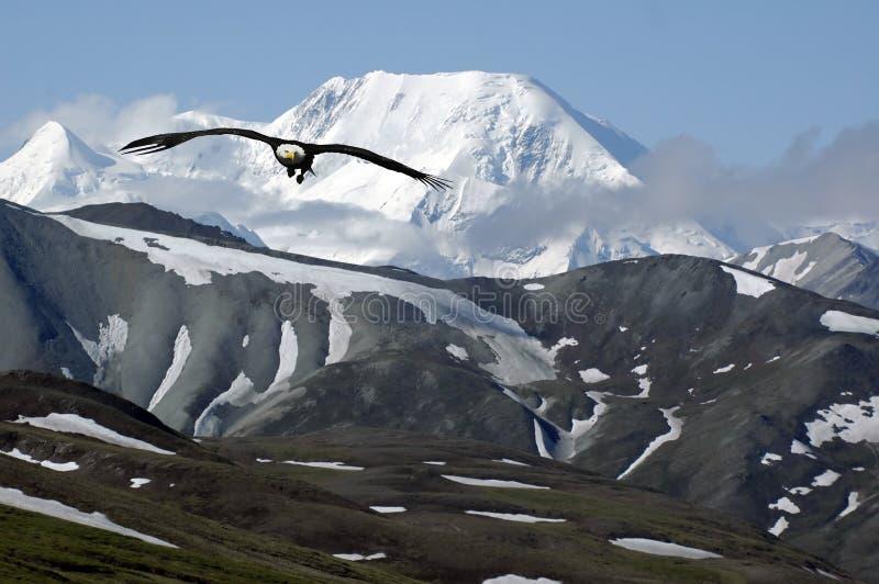 Aquila della montagna fotografia stock libera da diritti