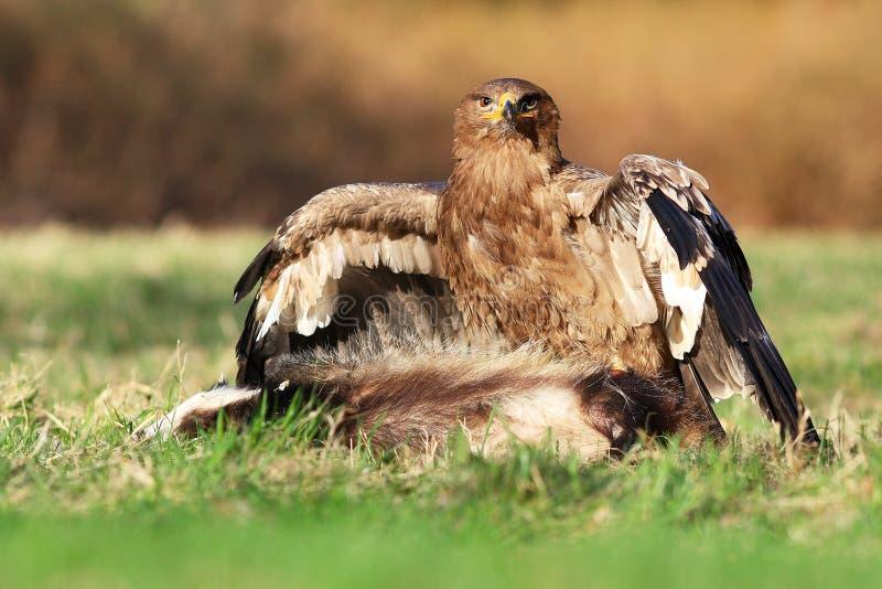 Aquila della steppa (nipalensis di Aquila) fotografie stock libere da diritti