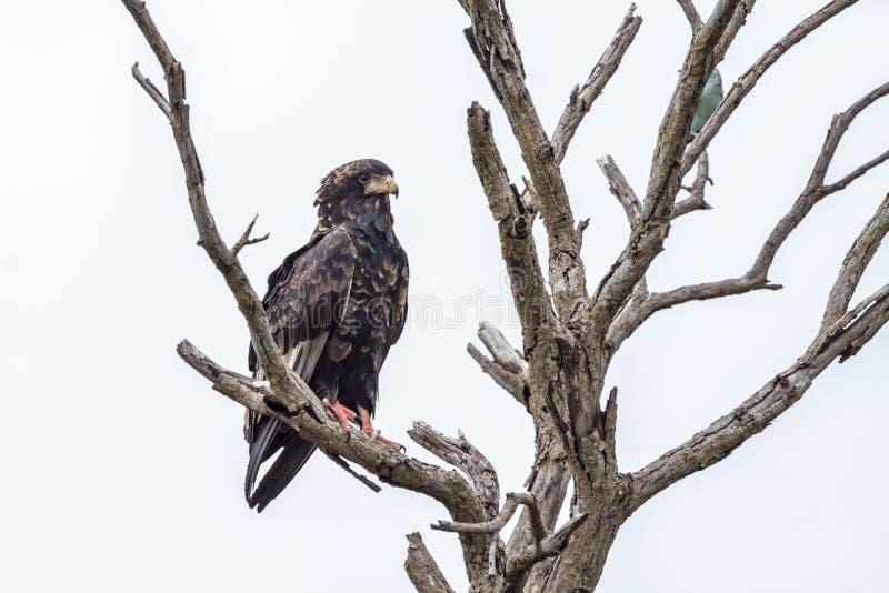 Aquila di Bateleur nel parco nazionale di Kruger, Sudafrica immagini stock