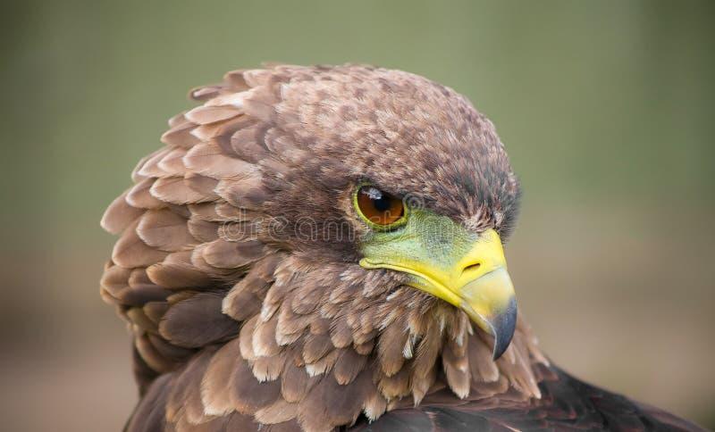 Aquila di Brown con un becco verde e giallo fotografie stock