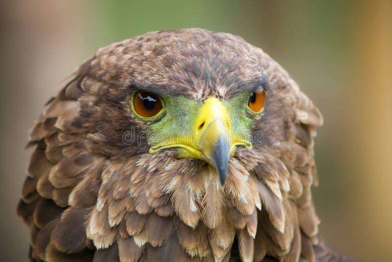 Aquila di Brown con un becco verde e giallo immagini stock